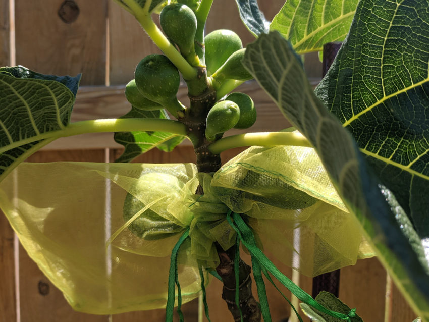 Figs in Organza Bags for Bird Protection