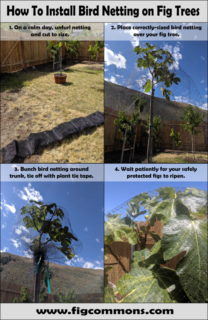 How to Install Bird Netting on Fig Trees